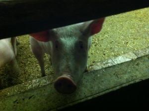 Glückliches Schwein?